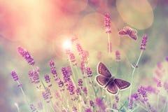 Бабочка летая над цветком лаванды Стоковое Изображение RF