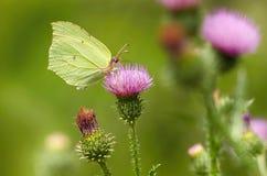 Бабочка желтого зеленого цвета Стоковые Фотографии RF