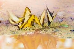 Бабочка желтого цвета Swallowtail тигра Стоковые Изображения
