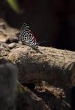 Бабочка джунглей показывая их красивая красная, черно-белая картина Стоковая Фотография