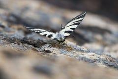 бабочка закамуфлировала Стоковое Фото