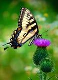 Бабочка замкнутая ласточкой Стоковое Изображение