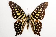 бабочка замкнутый jay Стоковые Фото