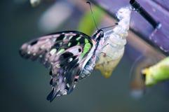 бабочка замкнутый jay Стоковое Изображение RF
