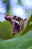 бабочка замкнутый jay Стоковая Фотография