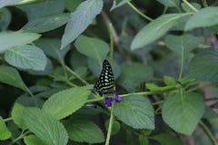 бабочка замкнутый jay Стоковые Изображения