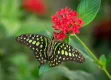бабочка замкнутый jay Стоковое Изображение