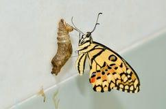 бабочка заново преобразовала Стоковое Изображение RF