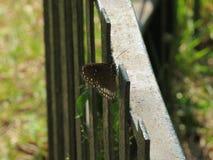 Бабочка запятнанная на парке во время прогулки в утре стоковая фотография