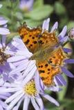 Бабочка запятого (C-Альбома Polygonia) Стоковые Изображения RF