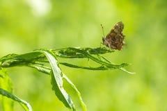 Бабочка запятой отдыхая в злаковике Стоковые Фото