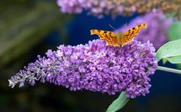 Бабочка запятой подавая на фиолетовом цветке будлеи Стоковое фото RF