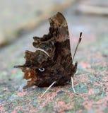 Бабочка запятой Стоковое Фото