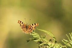 Бабочка запятой Стоковые Изображения RF