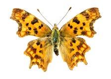 Бабочка запятой Стоковая Фотография RF