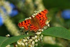 Бабочка запятой стоковые фотографии rf