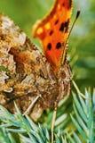Бабочка запятой (c-альбом Polygonia) греясь в солнце Стоковое Изображение