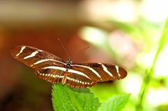 Бабочка, зебра Heliconian в aviary Стоковые Фото