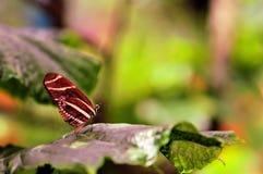 Бабочка, зебра Heliconian Стоковые Изображения RF