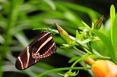 Бабочка, зебра Longwing (charithonia Heliconius) Стоковые Изображения RF