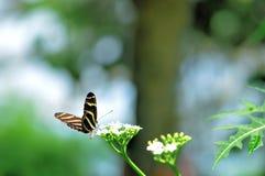Бабочка зебры на белых цветках в aviary Стоковое Изображение RF