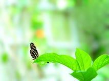 Бабочка зебры на лист длинного зеленого цвета Стоковое фото RF