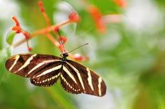 Бабочка зебры на красных цветках Стоковые Изображения