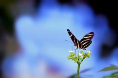 Бабочка зебры перед запачканной голубой предпосылкой Стоковая Фотография