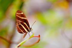 Бабочка зебры, Флорида Стоковое Изображение