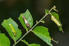 Бабочка известки и общие гусеницы Мормона стоковое изображение