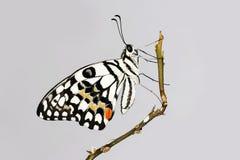 Бабочка известки на ветви Стоковое Изображение