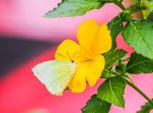 Бабочка известки на желтом цветке Стоковое Фото