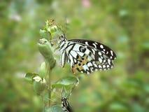 Бабочка известки Стоковое Изображение
