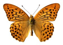 бабочка изолировала помытый серебр Стоковая Фотография RF