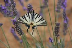 Бабочка имея еду стоковые фото