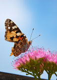 бабочка имея обед Стоковые Изображения
