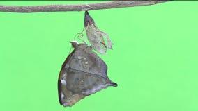 Бабочка лист осени новорожденного вытекая от куколок акции видеоматериалы