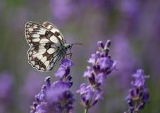 Бабочка и лаванда Стоковая Фотография RF
