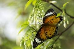 Бабочка и белый цветок Стоковые Изображения RF