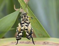 Бабочка и листья swallowtail тигра Стоковая Фотография