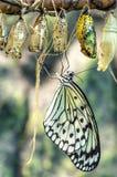 Бабочка и коконы Стоковая Фотография