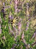 Бабочка и лаванда Стоковая Фотография