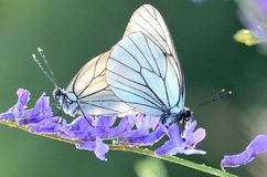 Бабочка и роса утра Стоковое фото RF