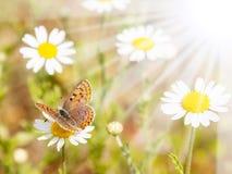 Бабочка и цветки весной Стоковое Изображение