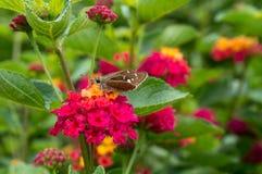 Бабочка и цветки стоковые изображения rf