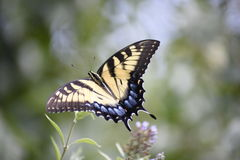 Бабочка кабеля ласточки Стоковое фото RF