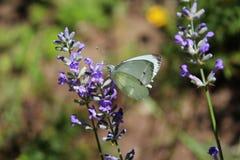 Бабочка капусты на цветках лаванды Стоковая Фотография RF
