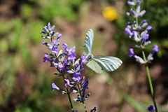 Бабочка капусты на цветках лаванды Стоковое Изображение