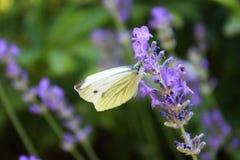 Бабочка капусты на цветках лаванды Стоковое Фото