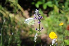 Бабочка капусты на цветках лаванды Стоковая Фотография